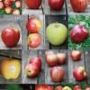 りんご12種食べ比べまとめ / Comparing the taste of 12 apples