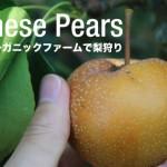 バンクーバーで日本の梨⁉ジャポニカオーガニックファームで梨狩り体験!