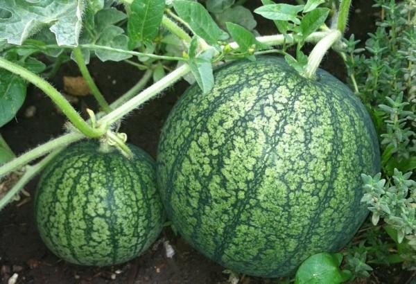 watermelon-174898_1280