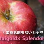 まだ名前を持たないカナダ生まれのりんご(Maigold×Splendor)まとめ
