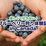 【U-Pick】カナダのFormosa Nurseryでオーガニック・ブルーベリー狩り体験記2018
