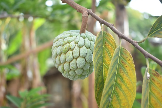 sugar-apple-2746066_640