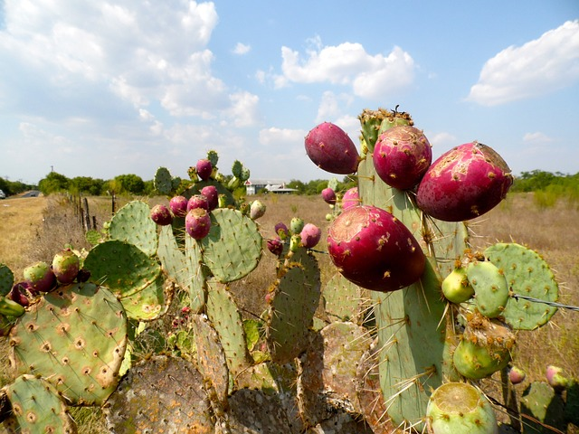 prickly-pear-173963_640