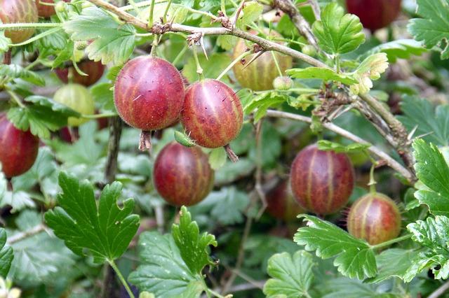 gooseberry-385445_640