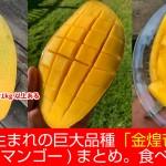 台湾高雄生まれの巨大品種!金煌芒果(キンコウマンゴー)まとめ。食べた感想も
