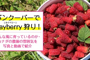 tayberry-picking