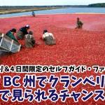 まるで赤い湖?!カナダBC州でクランベリー畑を間近で見られるチャンス到来