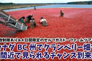 cranberry-farm