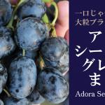 一口じゃ食べきれない大粒黒ぶどう?アドラシードレスグレープ(Adora Seedless Grape)まとめ