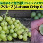 まるで海外版シャインマスカット!オータムクリスプグレープ(Autumn Crisp Grape)とは