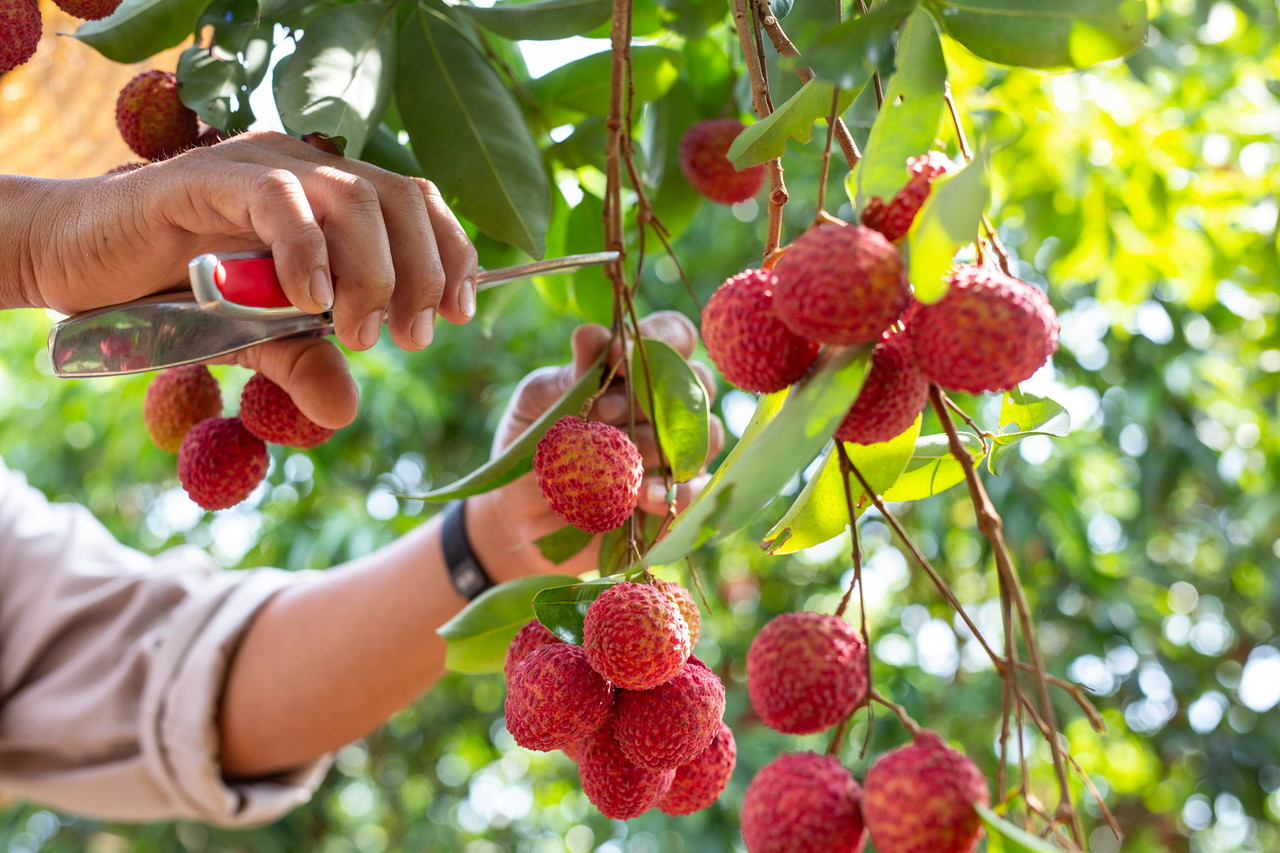 agriculture-of-lychee-fruit-in-thailand